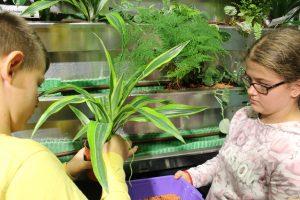 Pflanze wird aus dem Topf gezogen - © Projektteam GRÜNEzukunftSCHULEN